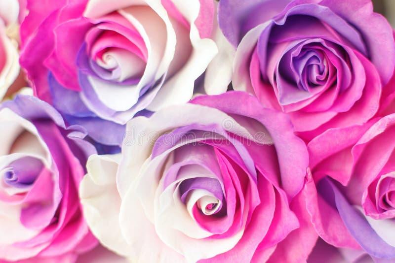 Fondo de rosas multicoloras Colores púrpuras, púrpuras, poner crema, rosados fotos de archivo