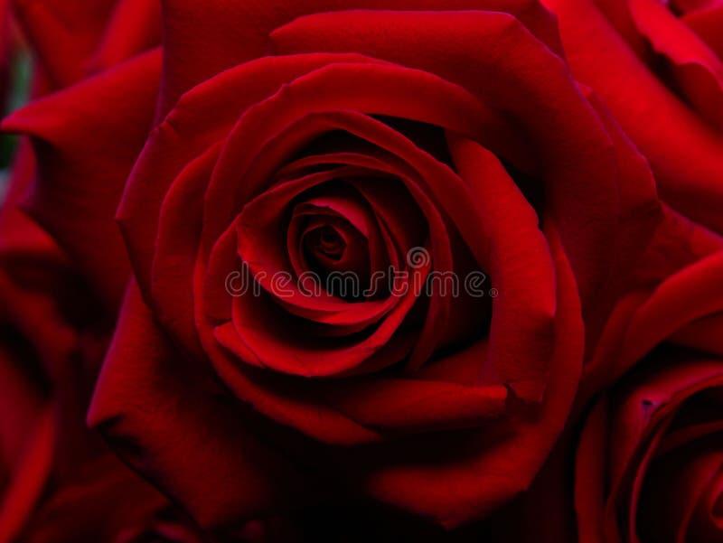 Fondo de rosas rojas finas. fotos de archivo