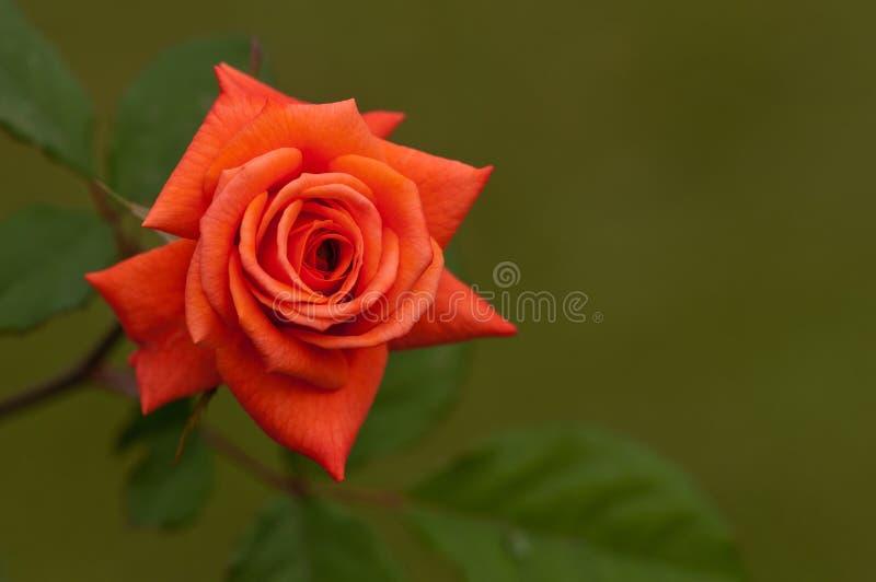 Fondo de Rose imagen de archivo libre de regalías