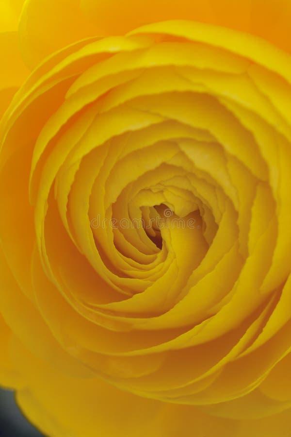 Fondo de Rose amarilla fotografía de archivo
