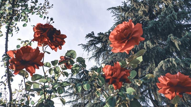 Fondo de Rosebush de rosas rojas imagen de archivo