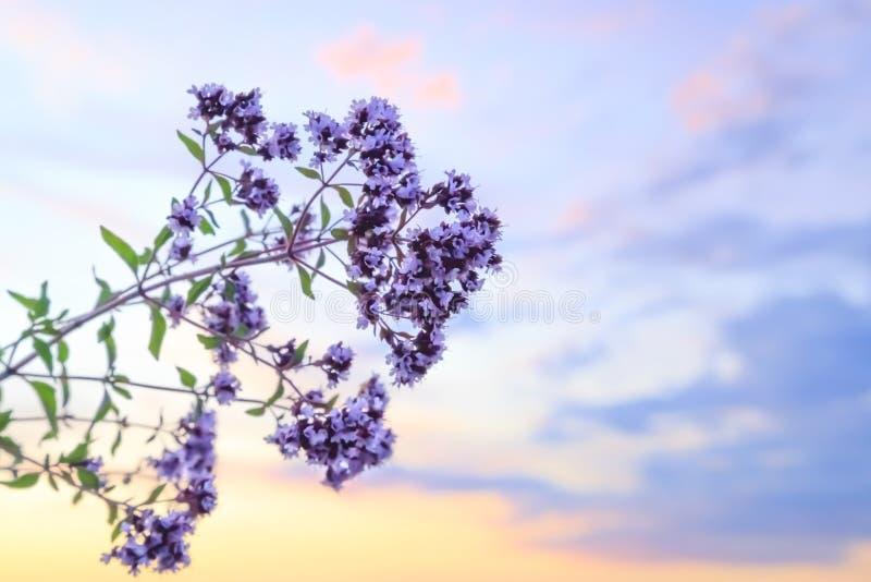 Fondo defocused brillante del extracto floral del verano con orégano y un cielo azul hermoso con un espacio de la copia foto de archivo libre de regalías