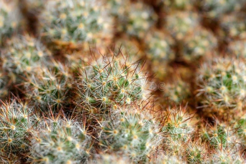 Fondo degli aghi del cactus fotografie stock libere da diritti