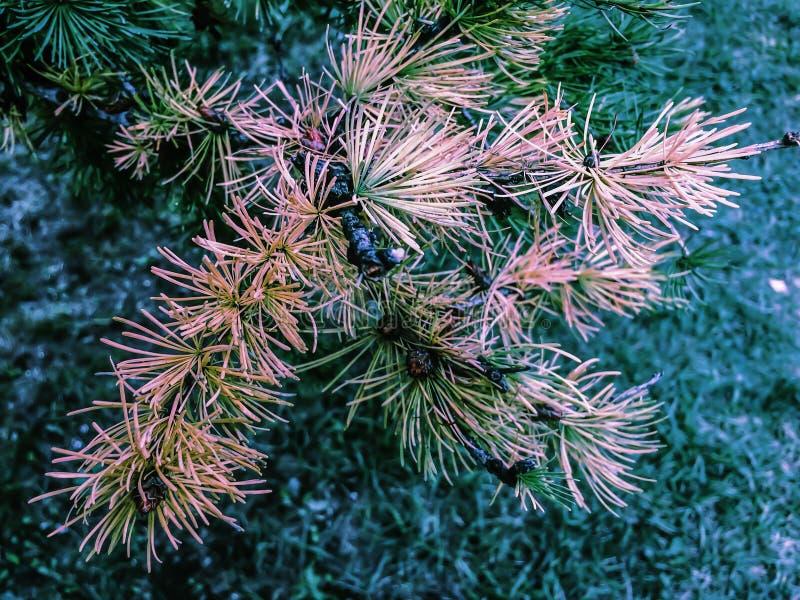 Fondo degli alberi di larice degli aghi di verde di foresta di autunno fotografia stock libera da diritti