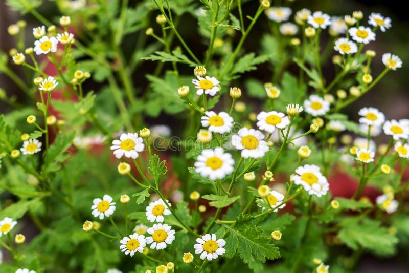 Fondo dei fiori del campo della camomilla selvatica Bella scena con i chamomilles medici di fioritura in natura Pianta di erbe pe immagini stock libere da diritti
