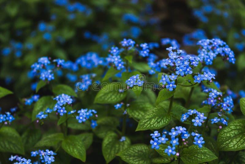 Fondo dei fiori del nontiscordardime del miosotis Piccoli fiori delicatamente blu contro un fondo di fogliame verde fertile fotografia stock libera da diritti