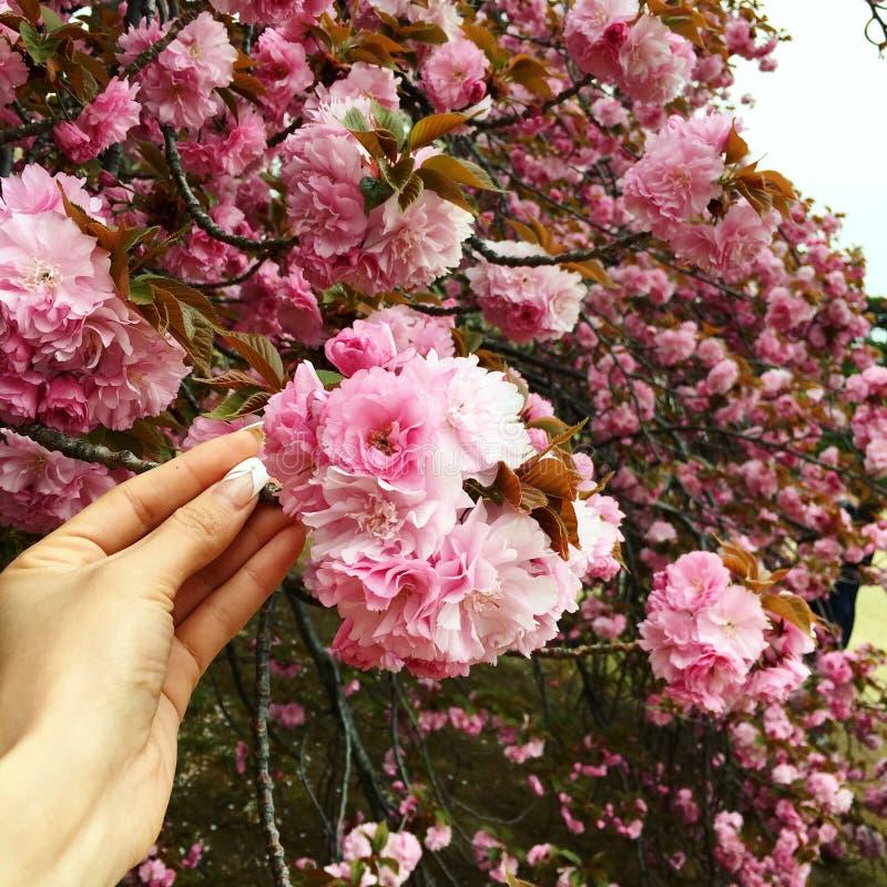 Fondo dei fiori dell'albero di Sakura Kanzan fotografia stock