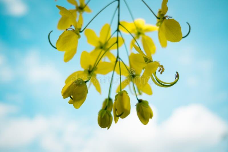 Fondo dei fiori di cassia fistula, fuoco selettivo fotografia stock libera da diritti
