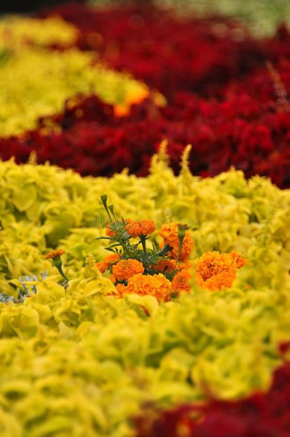 Fondo dei fiori multicolori in rosa ed in tagetes, fuoco selettivo immagine stock