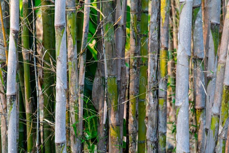 Fondo dei gambi grigi e foglie verdi degli alberi di bambù fotografie stock libere da diritti