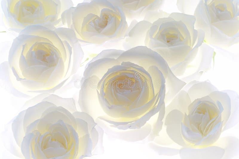 Fondo dei germogli di fiore della rosa di bianco immagine stock