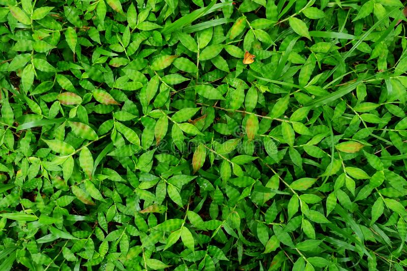 Fondo dei involvensGrass del Selaginella Struttura fresca dell'erba del prato inglese Tappeto perfetto dell'erba verde fotografia stock libera da diritti