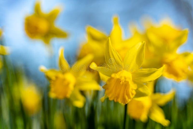 Fondo dei narcisi di fioritura della sfuocatura contro cielo blu in primavera immagini stock libere da diritti