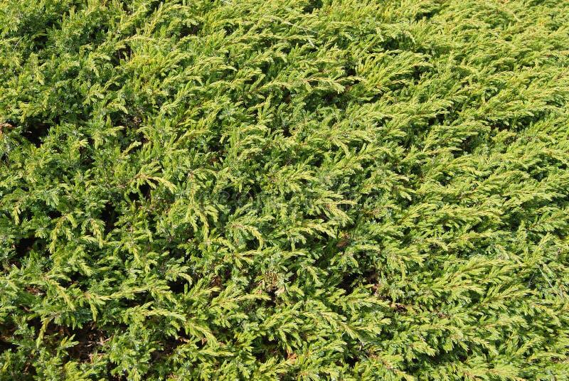 Fondo dei rami coniferi fotografia stock
