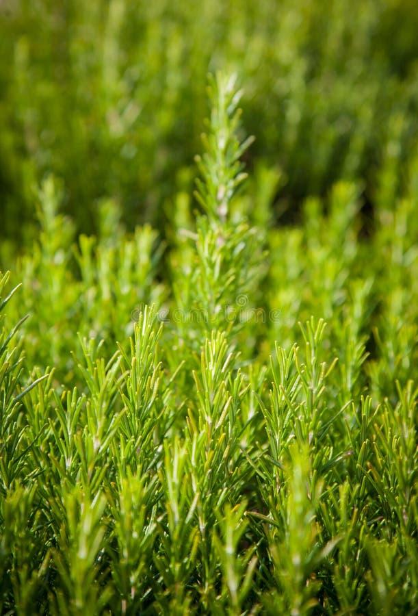 Fondo dei rosmarini, crescita di pianta fresca, sentita immagini stock