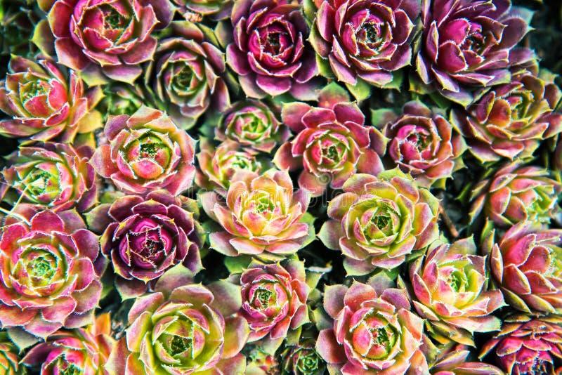 Fondo dei succulenti delle piante nel giardino fotografia stock libera da diritti