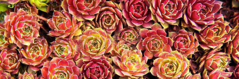 Fondo dei succulenti delle piante nel giardino immagini stock