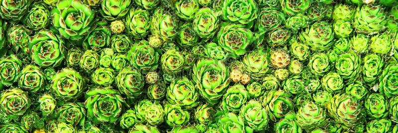 Fondo dei succulenti delle piante nel giardino fotografie stock libere da diritti