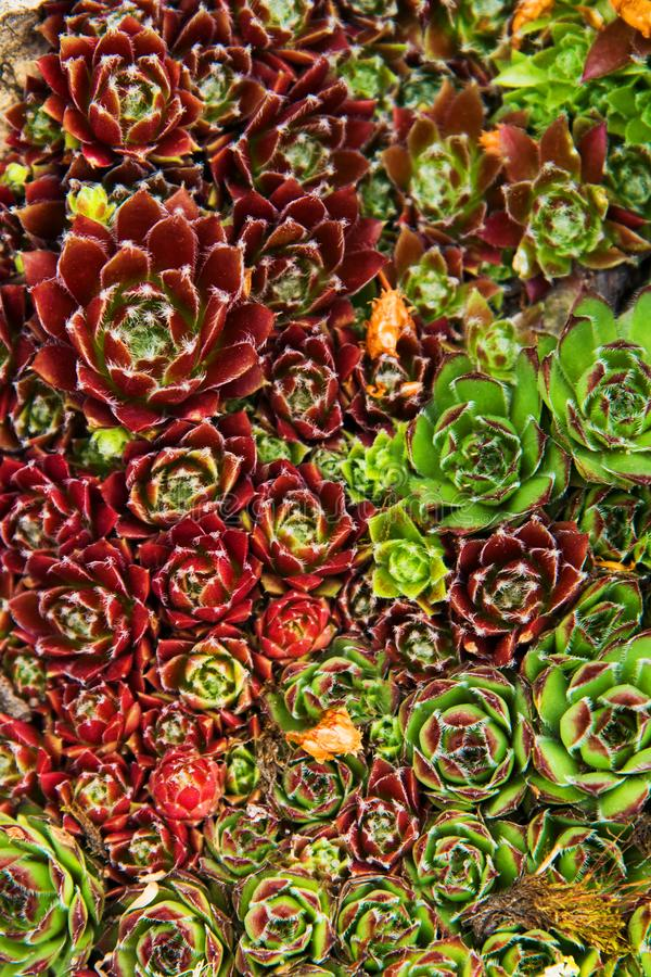 Fondo dei succulenti delle piante nel giardino fotografia stock