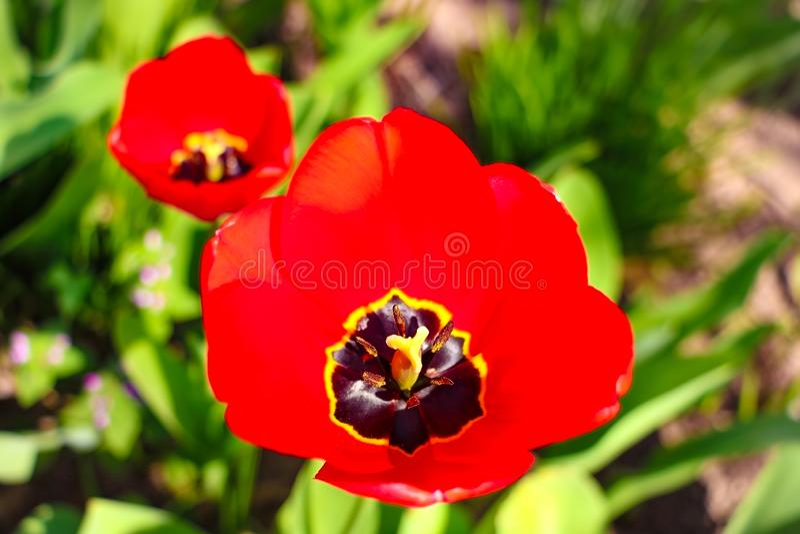 Fondo dei tulipani del fiore Bello punto di vista dei tulipani rossi nell'ambito del paesaggio di luce solare al mezzo della prim immagini stock