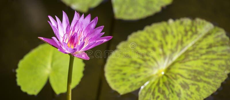 Fondo del agua del lirio de Lotus del panorama fotografía de archivo