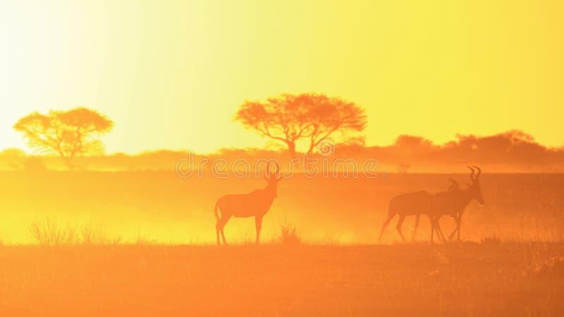 Fondo del amarillo de oro - fauna roja de la puesta del sol de Hartebeest de África. fotos de archivo