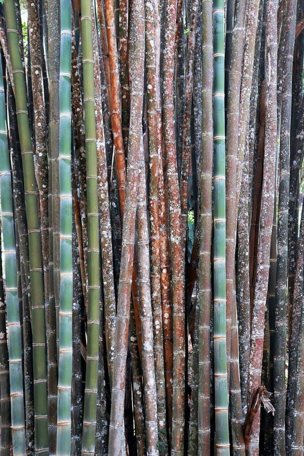 Fondo del bambú del color, papel pintado, troncos de bambú en una arboleda en Chaingmai Tailandia Asia foto de archivo libre de regalías