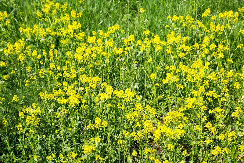 Fondo del bittercress amarillo de las flores Fondos de la textura foto de archivo