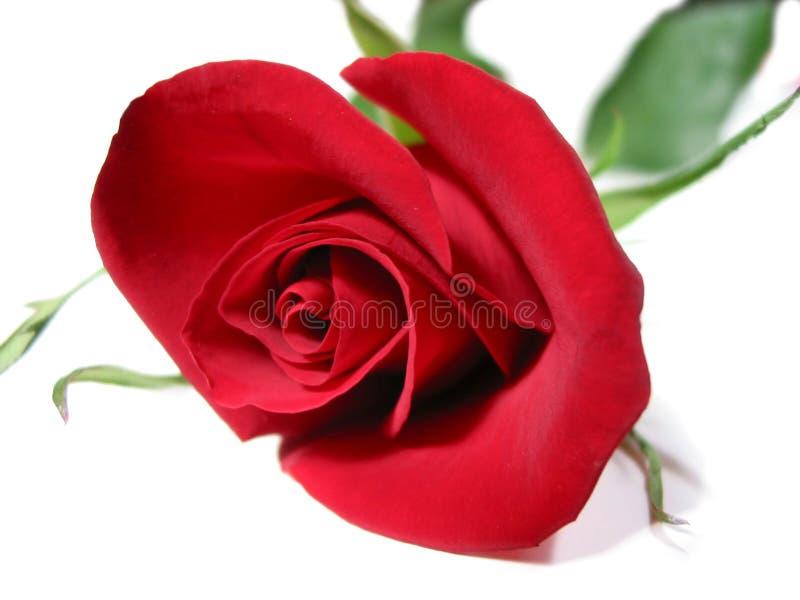 Fondo del blanco de la rosa del rojo foto de archivo libre de regalías