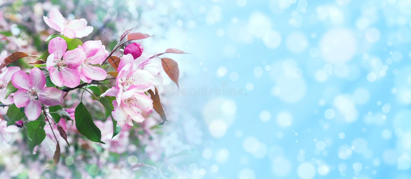 Fondo del bokeh del fiore di melo di Sping fotografie stock libere da diritti
