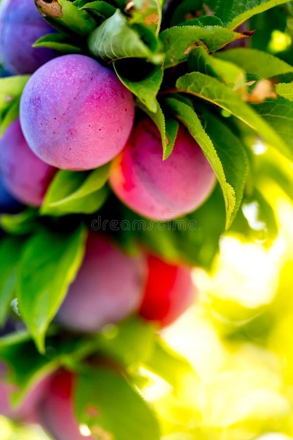 Fondo del bokeh del jardín de los ciruelos de la fruta Jardín de los ciruelos en día soleado Foco selectivo, espacio de la copia  fotografía de archivo