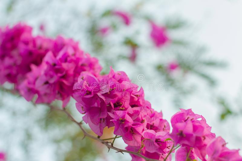 Fondo del bokeh del rosa de la buganvilla imagenes de archivo