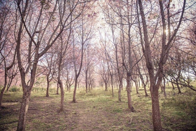 Fondo del bosque de la flor de cerezo con el foco suave foto de archivo