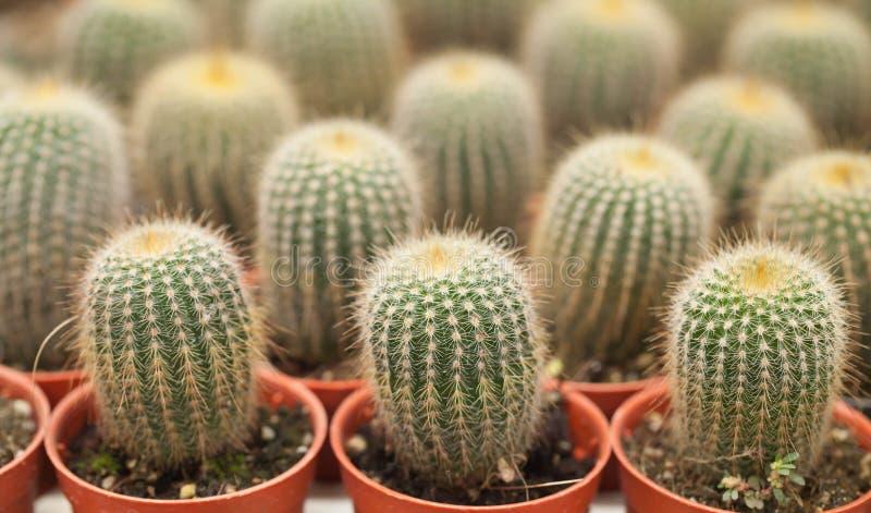 Fondo del cactus immagini stock