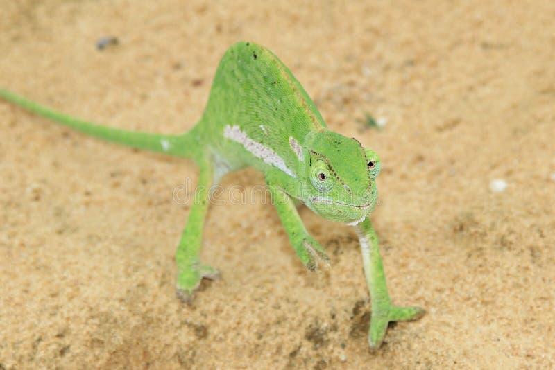 Fondo del camaleón - África - mago verde fotos de archivo