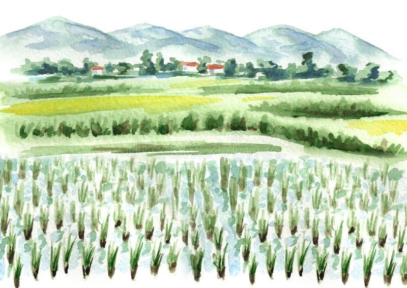 Fondo del campo del arroz Ejemplo dibujado mano de la acuarela stock de ilustración