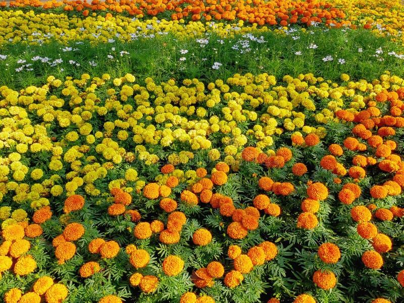 Fondo del campo de flores amarillo y anaranjado colorido de la maravilla foto de archivo libre de regalías