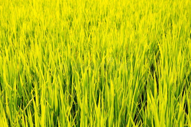 Fondo del campo de la plantación del arroz foto de archivo