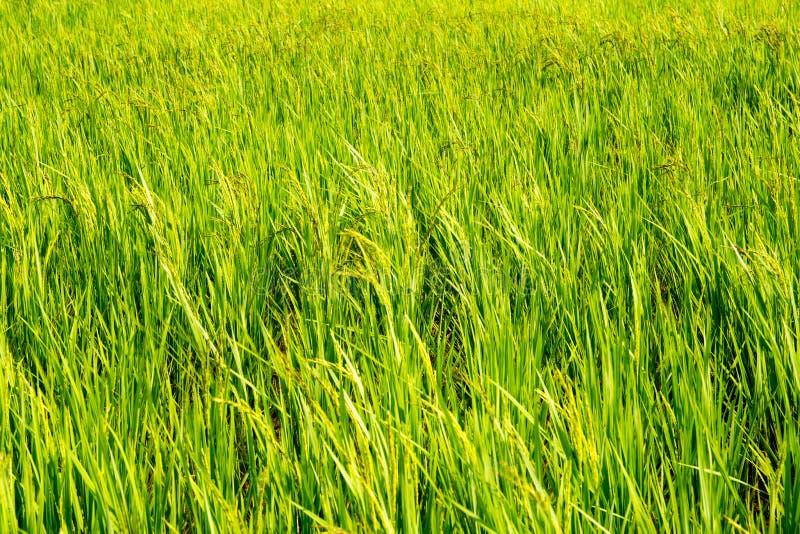 Fondo del campo de la plantación del arroz imágenes de archivo libres de regalías