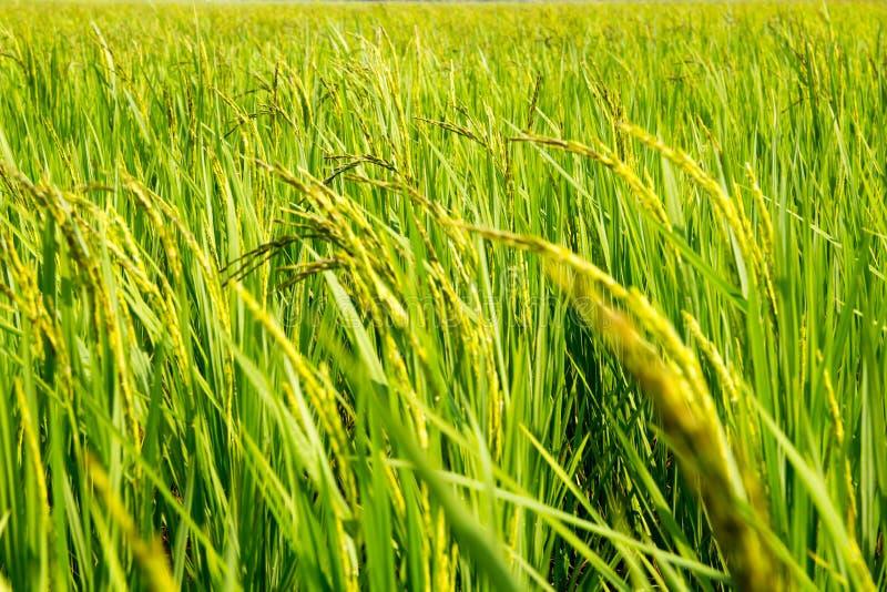Fondo del campo de la plantación del arroz imagen de archivo