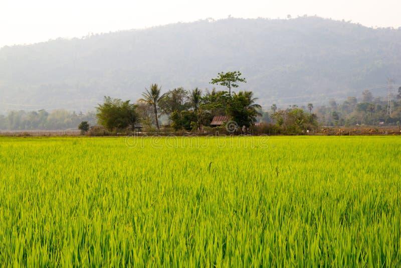 Fondo del campo de la plantación del arroz imagen de archivo libre de regalías