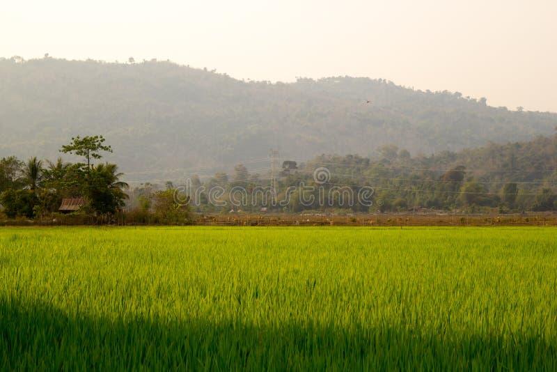 Fondo del campo de la plantación del arroz fotografía de archivo libre de regalías