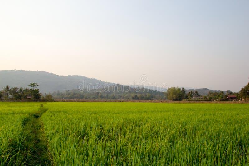 Fondo del campo de la plantación del arroz fotografía de archivo