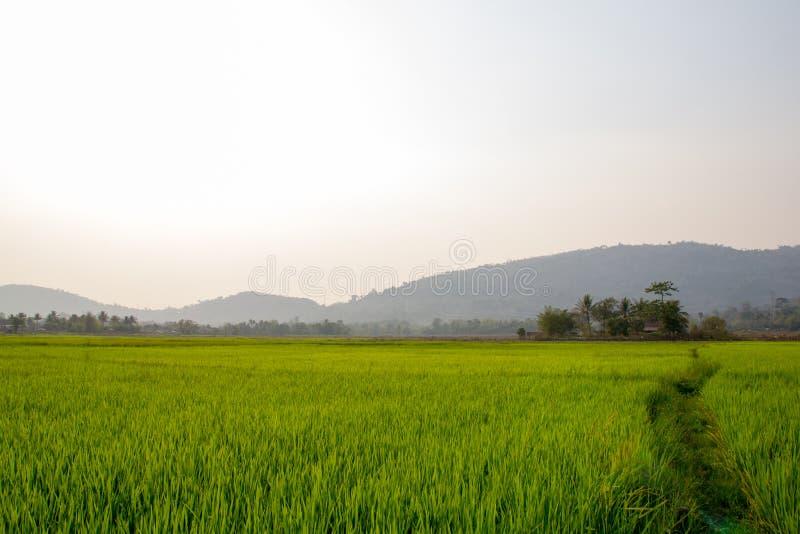 Fondo del campo de la plantación del arroz imagenes de archivo