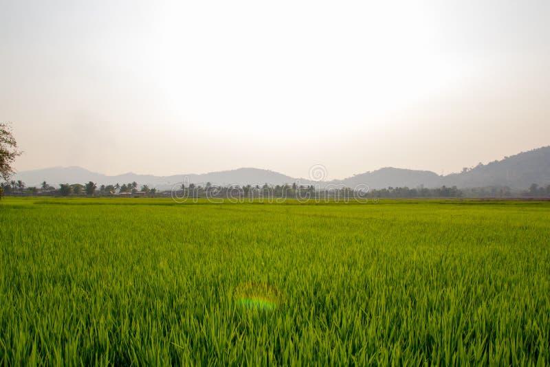 Fondo del campo de la plantación del arroz foto de archivo libre de regalías