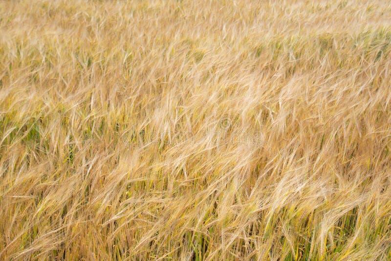 Fondo del campo de trigo imágenes de archivo libres de regalías