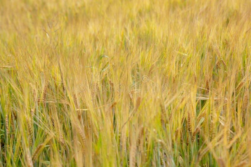 Fondo del campo de trigo foto de archivo
