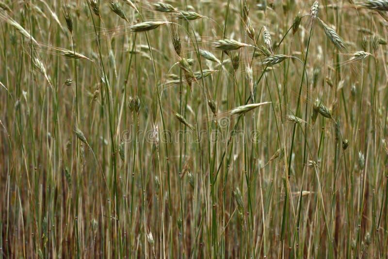 Fondo del cereale fotografie stock
