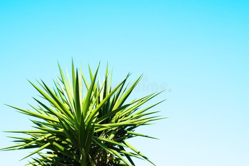 Fondo del cielo blu con la pianta dell'agave fotografie stock libere da diritti