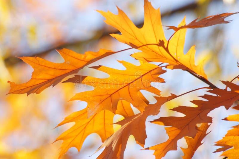 Fondo del cielo del otoño/de la caída - hojas de oro imágenes de archivo libres de regalías